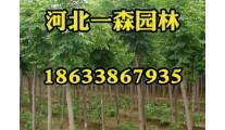 供应8-25cm各种冠形白蜡