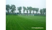 大批量低价供应马尼拉草坪,沙坪果岭草电15961543375