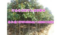苗木供应各种规格广玉兰