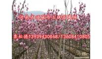 苗木供应各种规格红玉兰