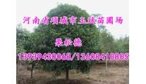 苗木供应各种规格桂花