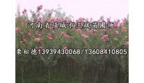 苗木供应各种规格百日红