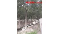 合欢树,朴树,榉树,香樟树,桂花树,栾树,巨紫荆,国槐,紫薇