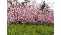 苗木精品供应优质杭州红花美人蕉