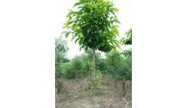 苗木供应白玉兰