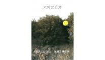 丛生大叶女贞球高度3-6米,冠2-4米