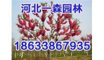 供应精品红叶碧桃