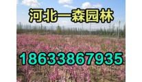 供应榆叶梅等彩叶树种