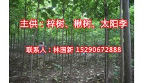 苗木供应楸树