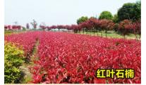 苗木供应丛生红叶石楠 冠70-80cm
