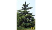 苗木供应4m雪松