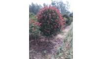苗木供应高杆红叶石楠 规格60-100cm