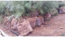 苗木供应营养钵雪松 规格60-100cm