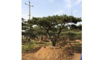 苗木供应造型松——山东泰安利丰大乔木基地
