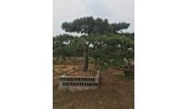苗木供应泰山景松——山东泰安利丰大乔木基地