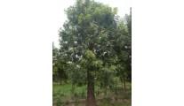 苗木供应白蜡——山东泰安利丰大乔木基地