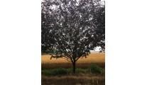 苗木供应红宝石海棠——山东泰安利丰大乔木基地