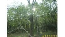 供应南京朴树等多种绿化苗木