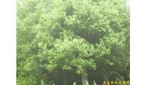 供应南京香樟等多种绿化苗木