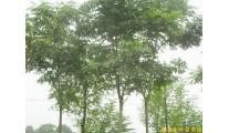 供应南京栾树等多种绿化苗木