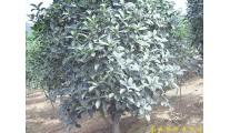 供应南京桂花等多种绿化苗木