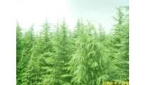 供应南京雪松等多种绿化苗木