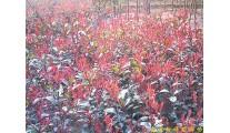 供应南京红叶石楠等多种绿化苗木
