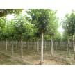 苗木供应法桐——含山县冠青生态林业有限公司