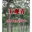 苗木供应单杆朴树——含山县冠青生态林业有限公司