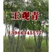 苗木供应多杆朴树——含山县冠青生态林业有限公司