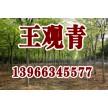 苗木供应榉树——含山县冠青生态林业有限公司