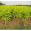 苗木供应金叶榆——青州市利春林苗圃