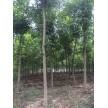 苗木供应白蜡—安徽省金润园林绿化有限公司