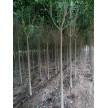 苗木供应栾树—安徽省金润园林绿化有限公司