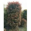 苗木供应红叶石楠柱
