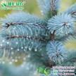 美国蓝杉 科罗拉多蓝杉 供应美国蓝杉一年苗 蓝杉树苗供应