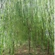 苗木供应垂柳