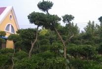 精品造型树