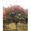 苗木供应高杆红叶石楠球