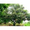 苗木供应枇杷