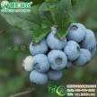 南方灿烂蓝莓 供应南方灿烂蓝莓树苗价格 南方蓝莓小苗供应
