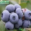 杰兔蓝莓 兔眼蓝莓小苗 正宗优质蓝莓小苗 杰兔蓝莓组培苗
