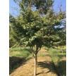 苗木供应鸡爪槭