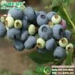 供应正宗v3蓝莓小苗江西绿农蓝莓基地