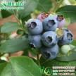 出售南方夏普蓝蓝莓小苗江西大型精品水果种苗基地