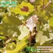 供应彩叶苗木欧洲金叶杨小苗江西绿农苗木基的大量批发绿化小苗