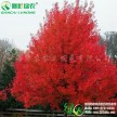 江西绿农农业发展有限公司出售火焰红栎小苗