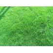 草坪,供百慕大与黑麦草混播草坪,天堂草13775528172