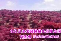 园林绿化苗木