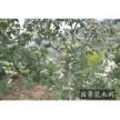 1-6公分国槐 香花槐 苹果树 柿子树 山楂树 核桃树